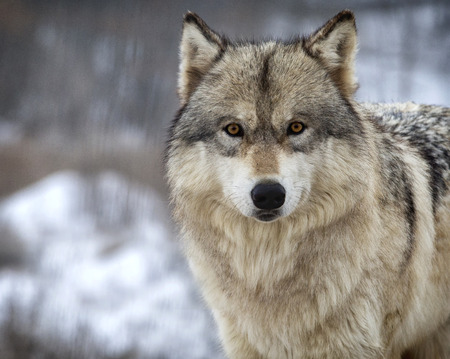 Photo for Close up, head and shoulders image of a Timber Wolf, or Gray wolf. Shallow depth of field. - Royalty Free Image