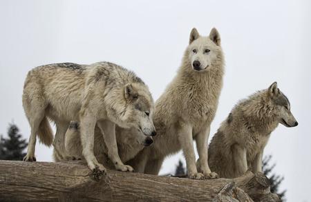 Foto de Close up image of a grey wolf pack.  Fine snow falling in this winter scene. - Imagen libre de derechos