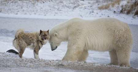Photo pour An unlikely pair.  Polar bear and Canadian Eskimo Dog.  Late autumn in Churchill, Manitoba, Canada - image libre de droit