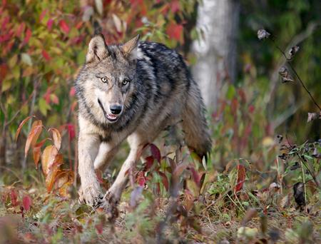Foto de Close up image of a gray wolf, running. - Imagen libre de derechos