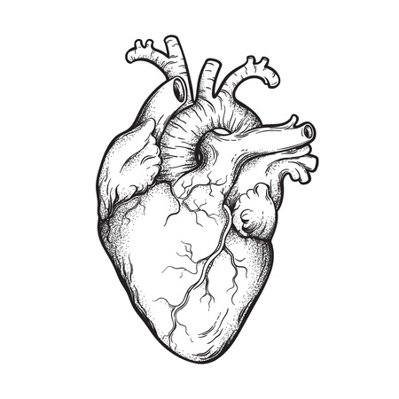 Illustration for Human heart anatomically correct hand drawn line art and dotwork. Flash tattoo or print design vector illustration - Royalty Free Image