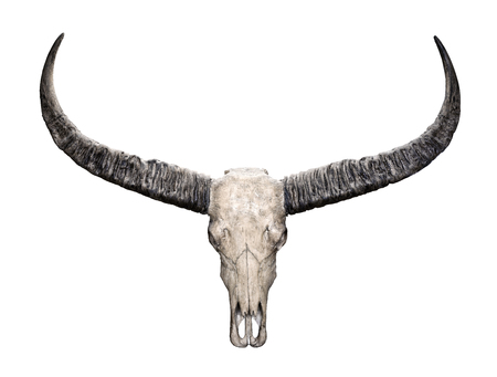 Photo pour Head skull of Wild water buffalo (Bubalus arnee) isolated on white background - image libre de droit