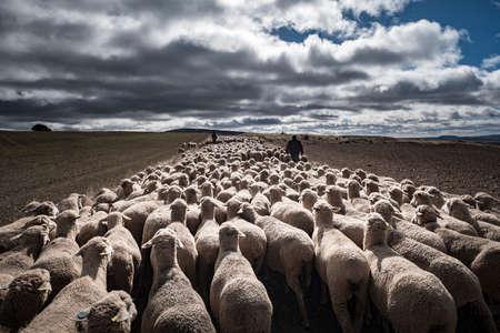 Foto de Transhumant route with sheep in the province of Soria in Spain - Imagen libre de derechos