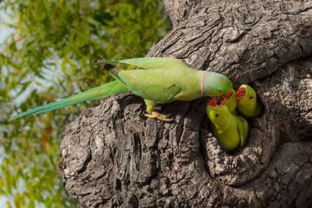 Photo pour Indian parrot giving food - image libre de droit