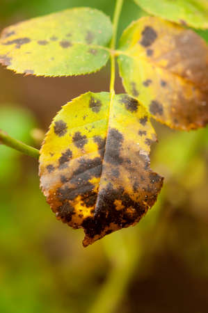 Foto de Close up of the black spot disease (Diplocarpon rosae) on a rose leaf - Imagen libre de derechos