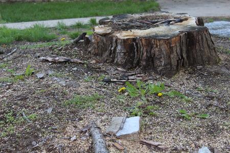 Foto de Tree Stump remaining after having a large tree removed. - Imagen libre de derechos