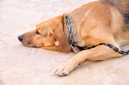 chained dog with padlock looking boring and laying on the ground