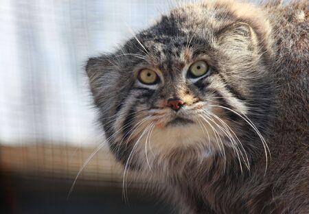 Close up of Felis manul, Otocolobus manul or Pallas Cat