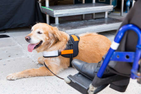 Foto de An assistance dog is trained to aid or assist an individual with a disability. - Imagen libre de derechos