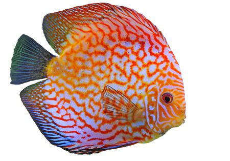 portrait of a red  tropical Symphysodon discus fish in a white background