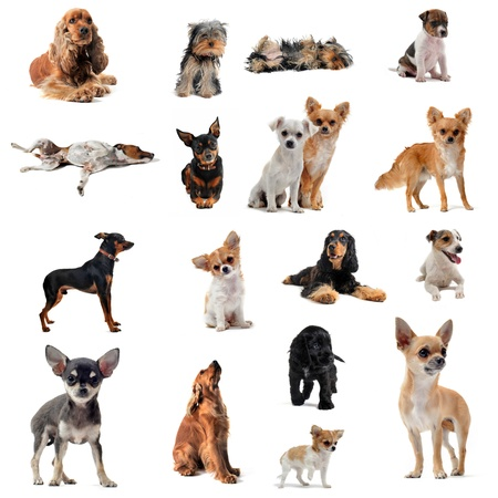groupe of purebred little dogs in front of white background