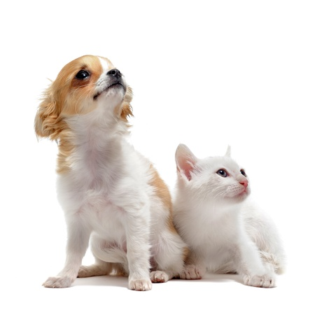 portrait of a cute purebred  puppy chihuahua and white kitten in front of white background