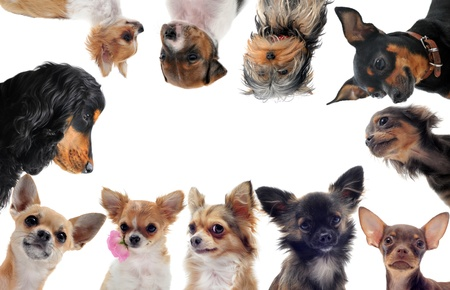 group of purebred little dogs in front of white background