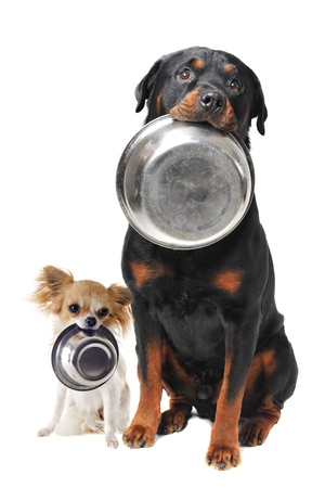 portrait of a cute purebred rottweiler and chihuahua and his food bowl