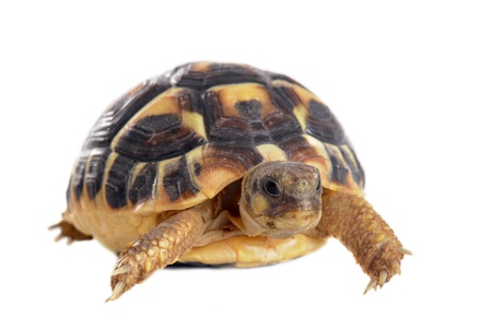 young tortoise isolated on a white isolated background