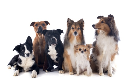 portrait of a purebred  dogs in front of white background
