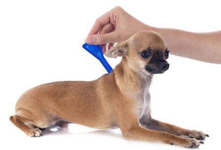 Foto de tick and flea prevention on a little chihuahua in studio - Imagen libre de derechos