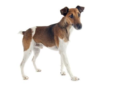 Photo pour portrait of a purebred smooth fox terrier in front of white  - image libre de droit