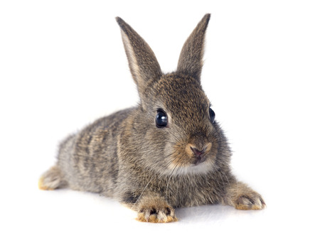 Photo for European rabbit in front of white background - Royalty Free Image