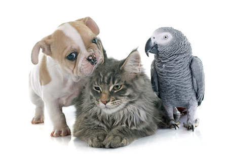 Photo pour parrot, puppy and cat in front of white background - image libre de droit