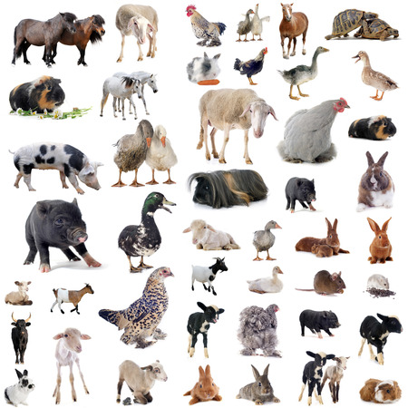 Photo pour farm animals in front of white background - image libre de droit