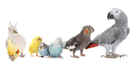 Photo pour common pet parakeet, African Grey Parrot and Cockatielin front of white background - image libre de droit