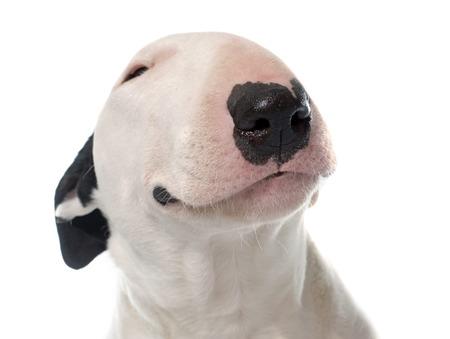 Photo pour female bull terrier in front of white background - image libre de droit