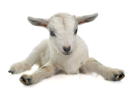 Photo pour white young goat in front of white background - image libre de droit