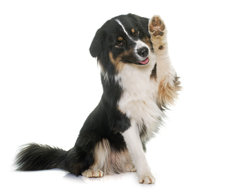 Photo for tricolor australian shepherd in front of white background - Royalty Free Image