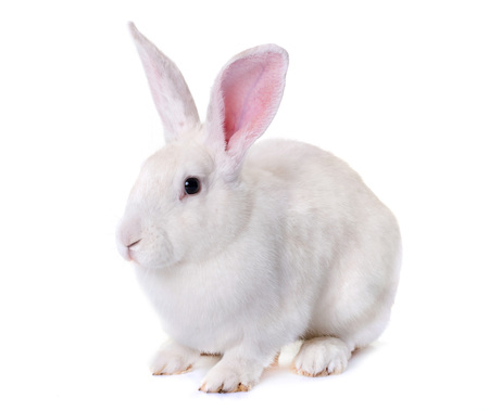 Photo for white rabbit in front of white background - Royalty Free Image