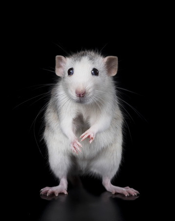 Photo for young rat in front of black background - Royalty Free Image