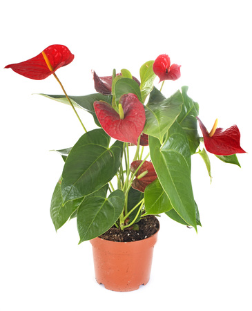 Photo for anthurium plant in front of white background - Royalty Free Image
