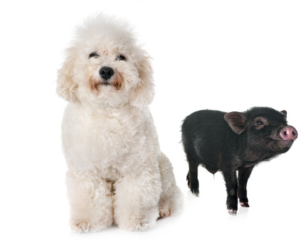 vietnamese pig and bichon in front of white background