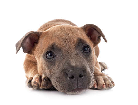 Photo pour puppy staffordshire bull terrier in front of white background - image libre de droit