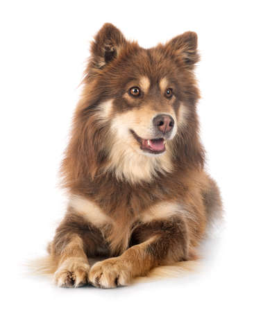 Photo pour Finnish Lapphund in front of white background - image libre de droit