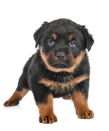 Photo pour puppy rottweiler in front of white background - image libre de droit