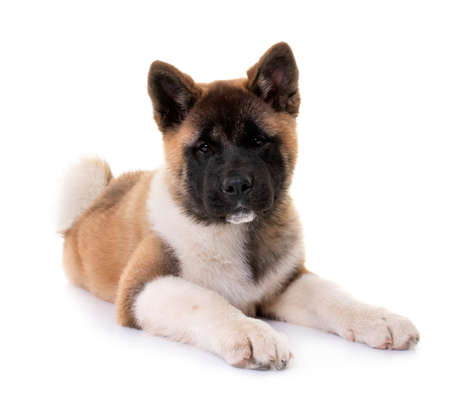 Photo pour puppy american akita in front of white background - image libre de droit