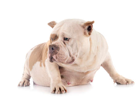 Photo pour american bully in front of white background - image libre de droit