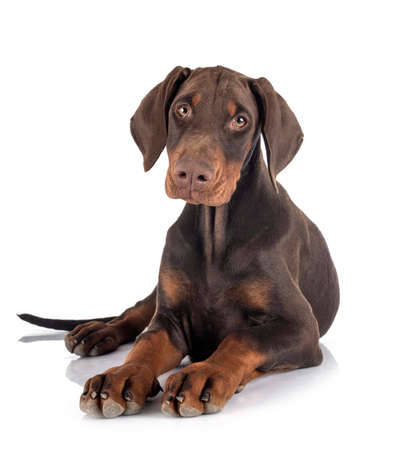 Photo pour doberman pinsher puppy in front of white background - image libre de droit