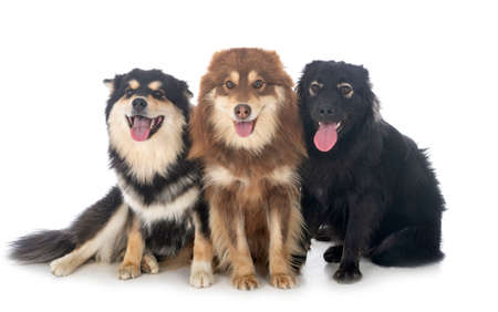 Photo pour Finnish Lapphunds in front of white background - image libre de droit