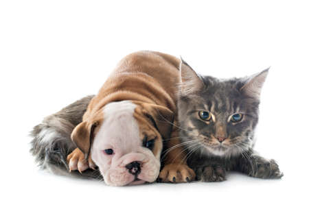 Photo pour puppy english bulldog and cat in front of white background - image libre de droit