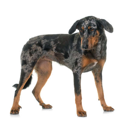 Photo pour female harlequin beauceron in front of white background - image libre de droit