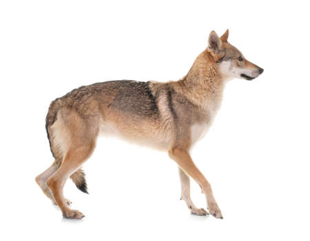 Photo pour czechoslovakian wolf dog in front of white background - image libre de droit