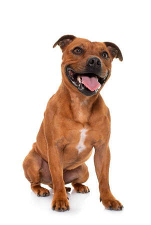 Photo pour stafforshire bull terrier in front of white background - image libre de droit