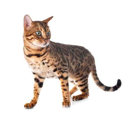 Photo pour bengal cat in front of white background - image libre de droit