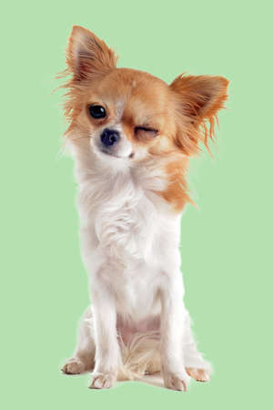 Photo pour wink of chihuahua in front of white background - image libre de droit