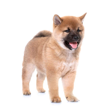 Photo pour puppy shiba inu in front of white background - image libre de droit