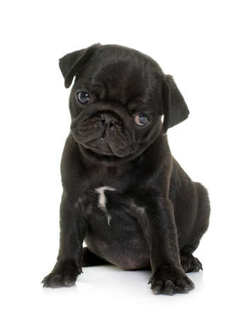 Photo pour puppy black pug in front of white background - image libre de droit