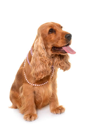 Photo pour cocker spaniel in front of white background - image libre de droit