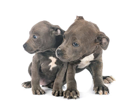 Photo pour puppies staffordshire bull terrier in front of white background - image libre de droit